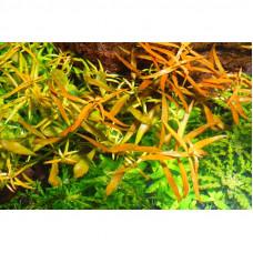 Ludwigia brevipes Broad Leaf